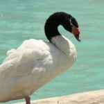 Cisne de<br /> cuello negro
