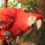 Guacamayo Rojo