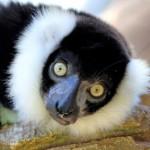 Lémur Rufo