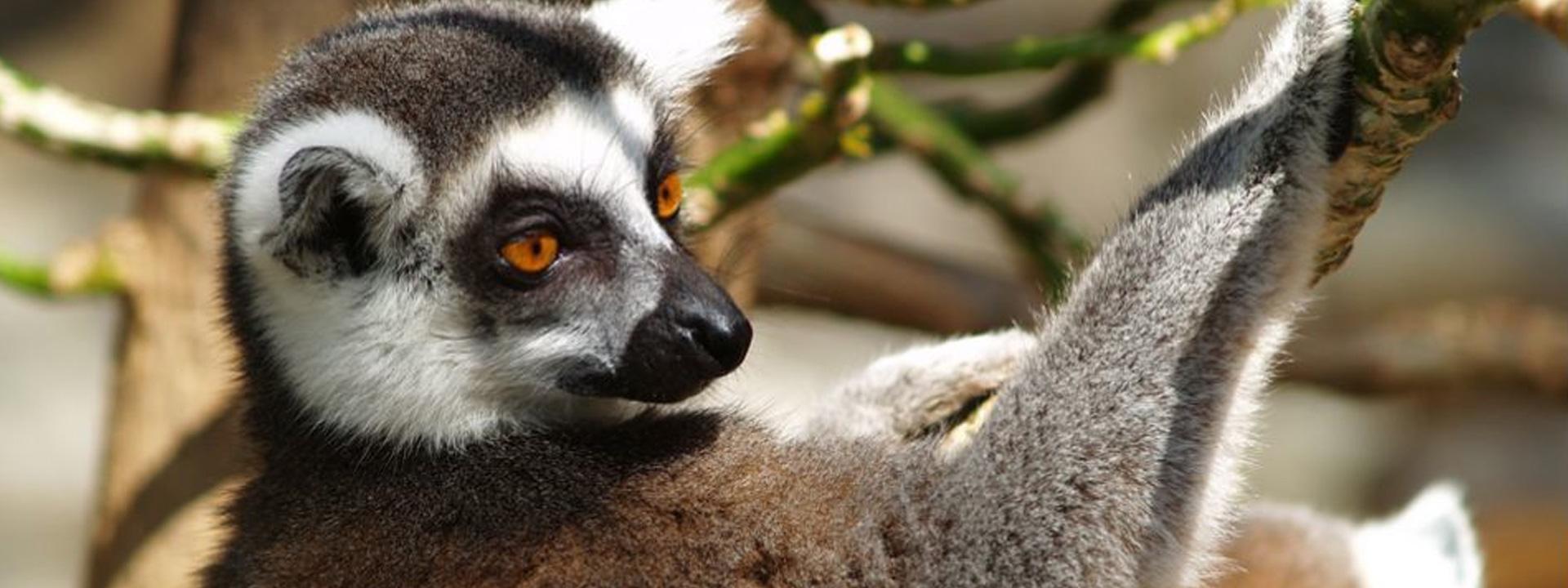 Crece la familia de lemures en Mundomar