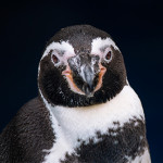 Pingüino de<br /> Humboldt