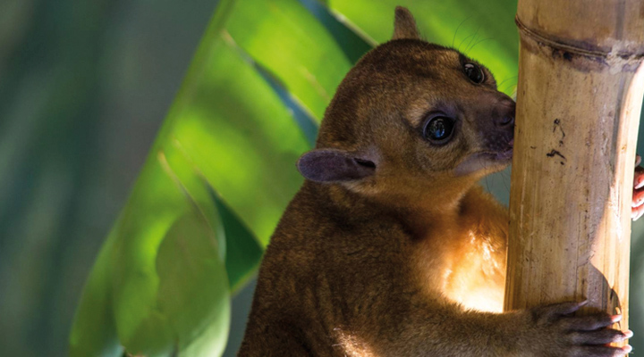 Mundomar estrena temporada con nueva especie: una gran famila de  kinkajous