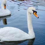 Cisne de<br /> cuello blanco