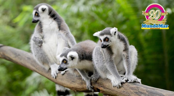 Las mamás de Mundomar: lémures catta y suricatas