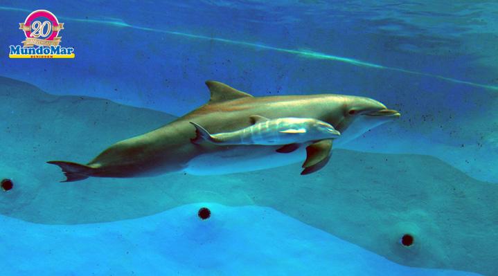 Nace en Mundomar la primera cría de delfín mular por inseminación artificial de España