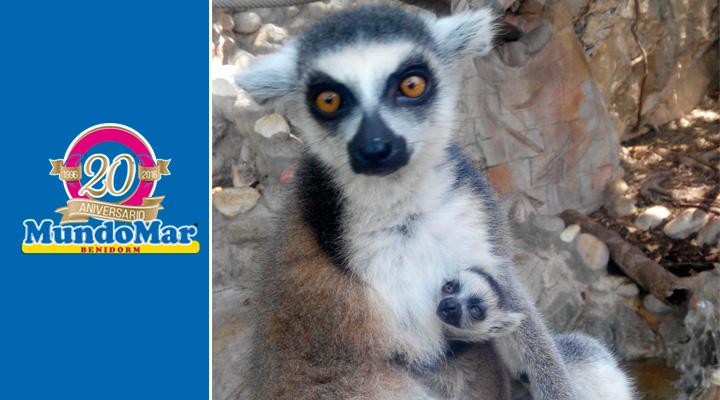 Nace un nuevo lémur catta en Mundomar