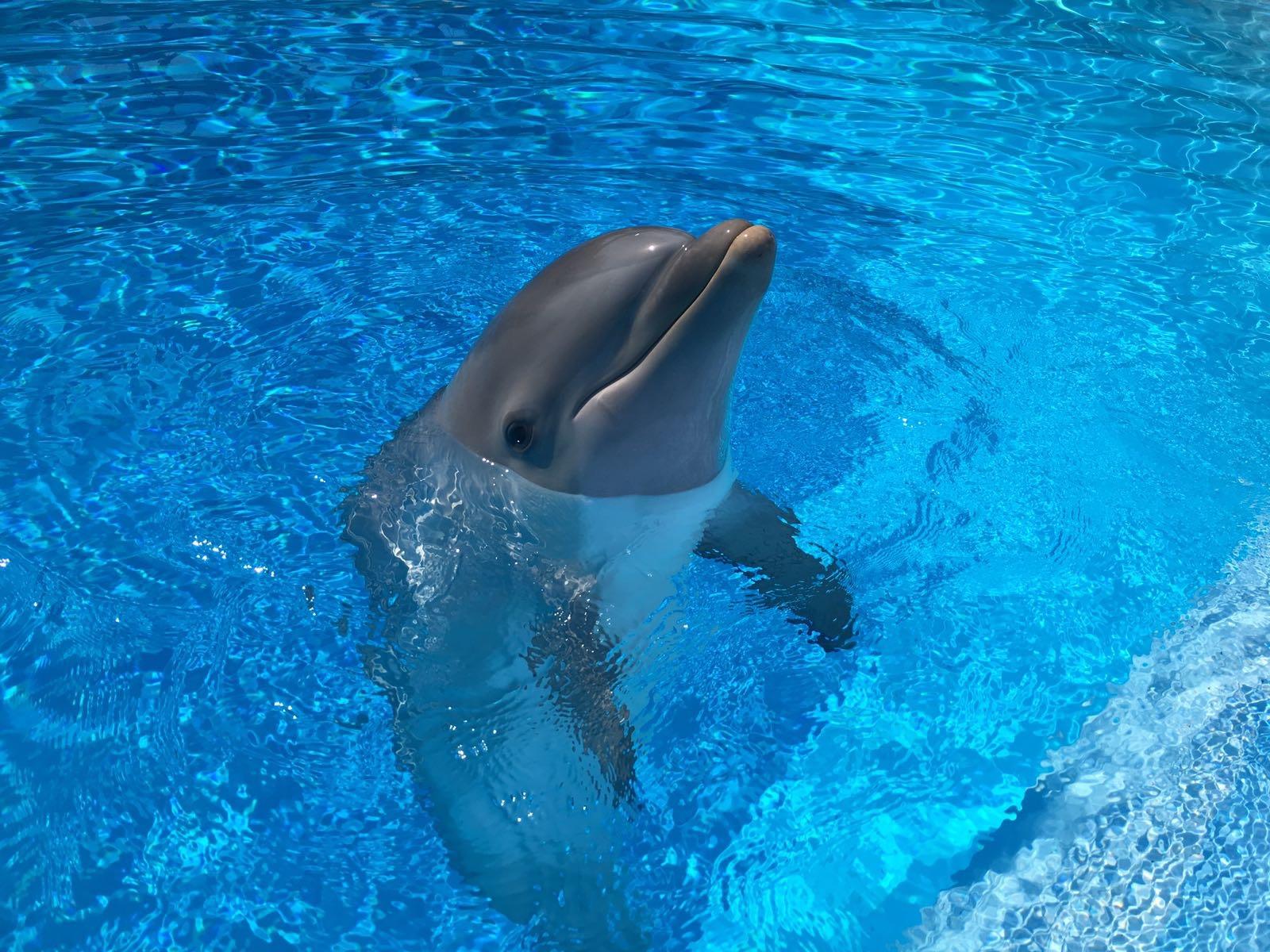 Nilo, el primer delfín mular nacido por inseminación artificial en España, cumple un año.