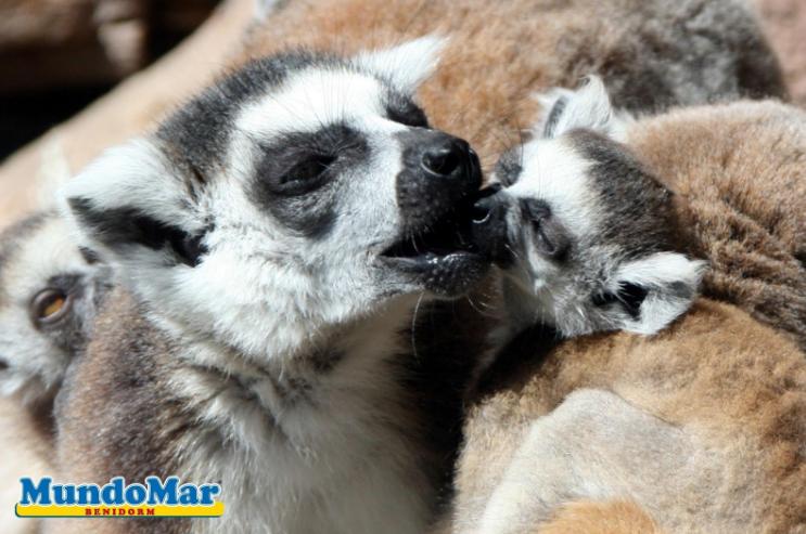 Conociendo al…Lemur catta