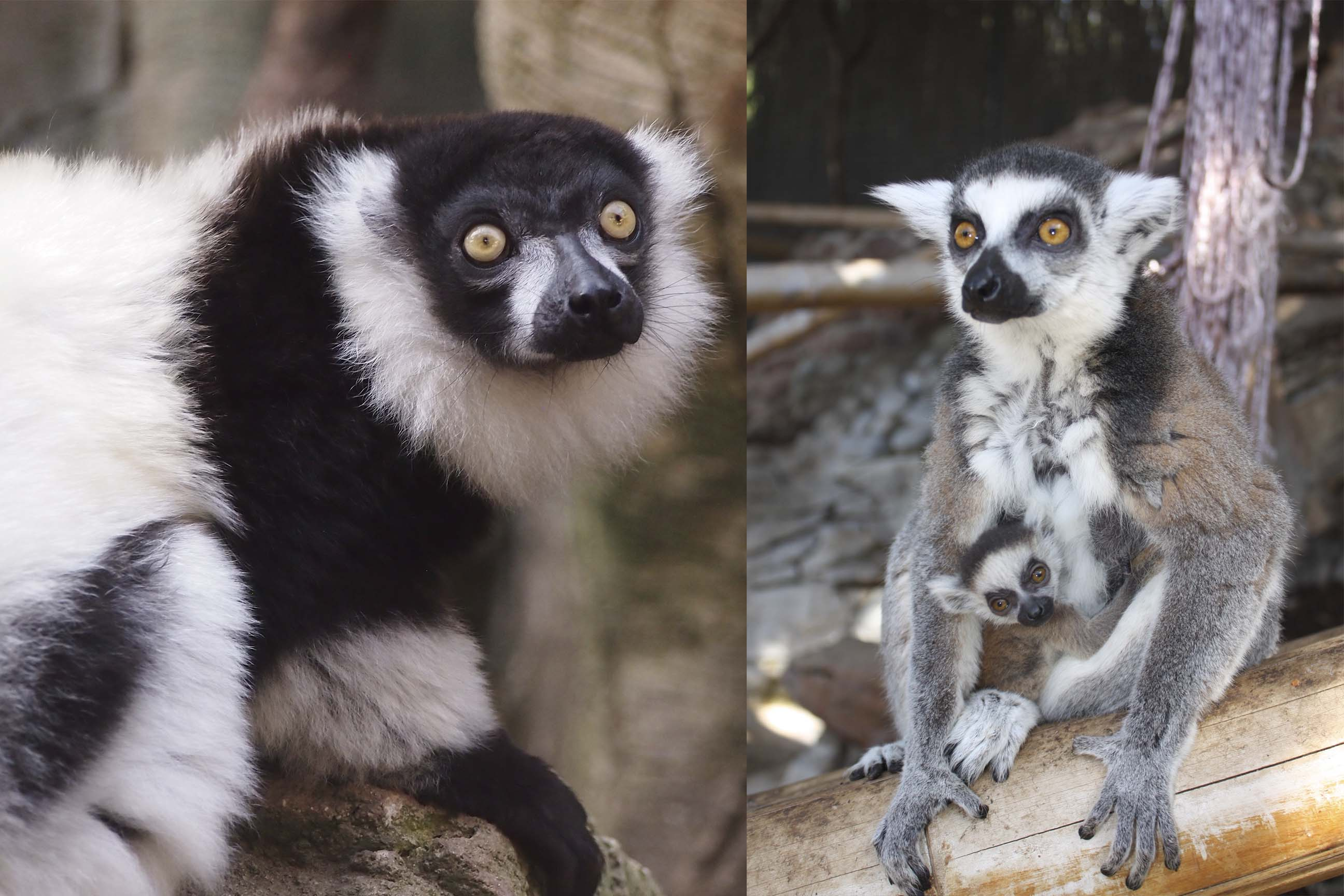 Diferencias entre el Lémur Catta y el Lémur de collar blanco y negro