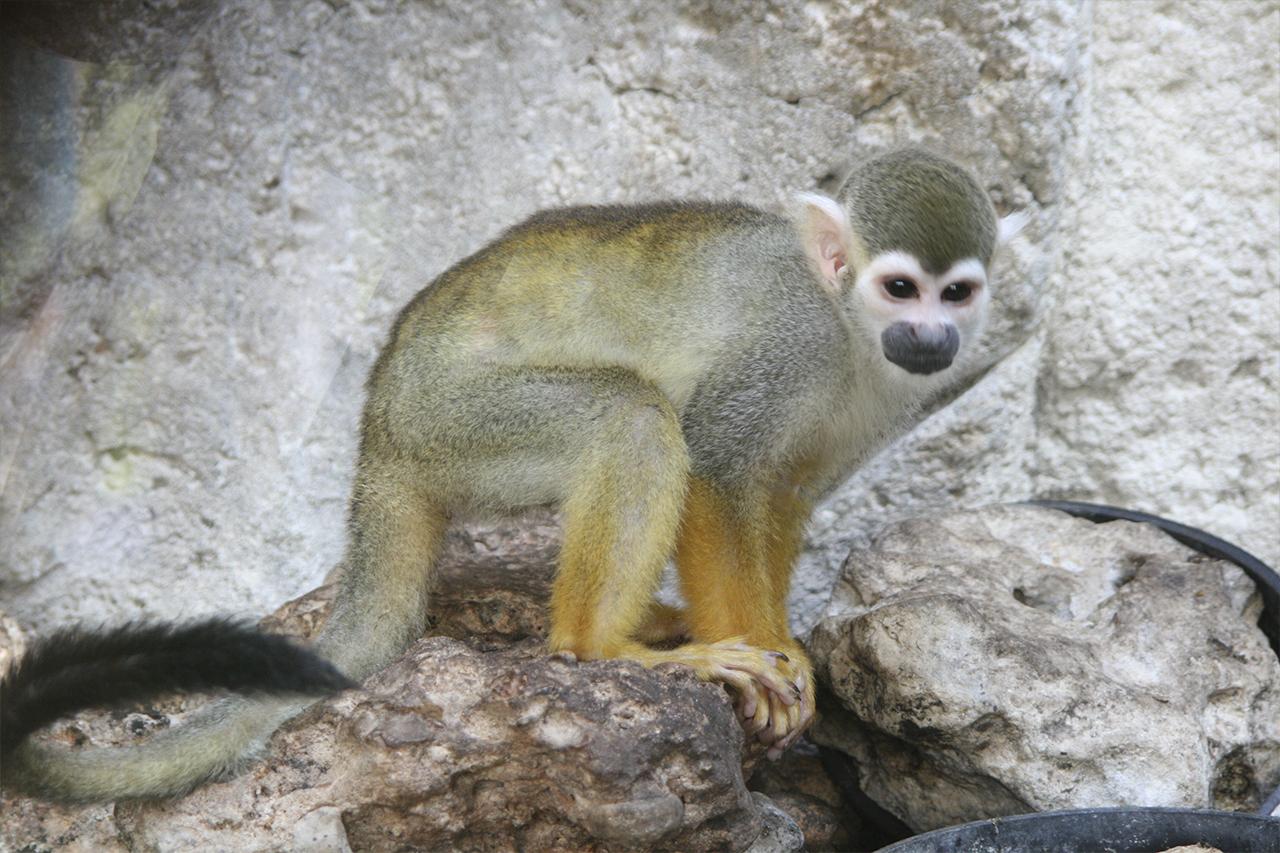 Pequeños mamíferos de Mundomar: el mono ardilla y el Tití de Geoffroy
