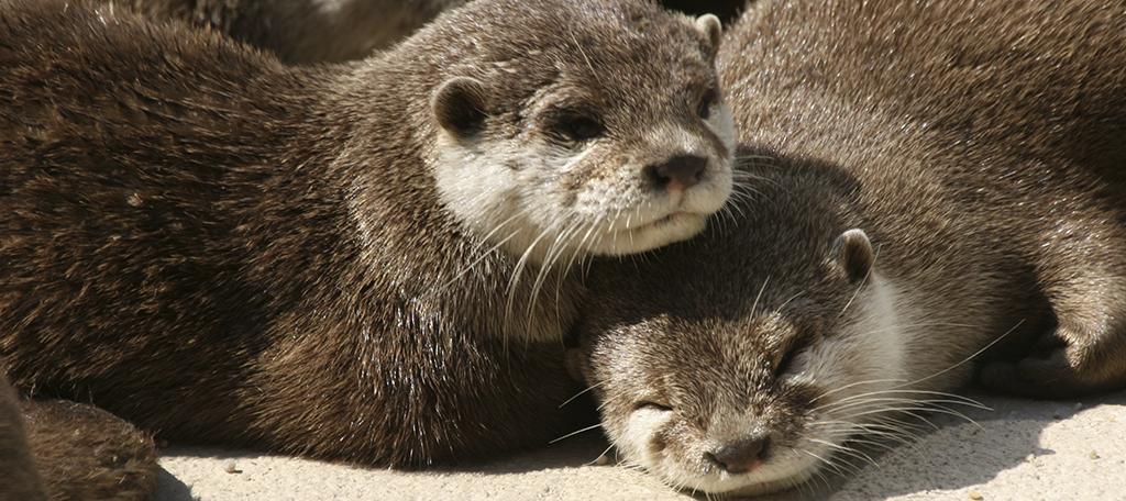 Pequeños mamíferos de Mundomar: la nutria y el suricata