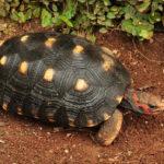 Tortuga terreste<br /> de patas rojas