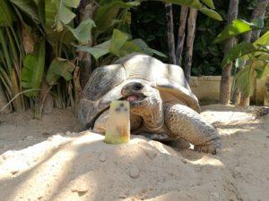 tortuga comiendo fruta congelada