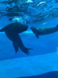 leones marinos debajo del agua