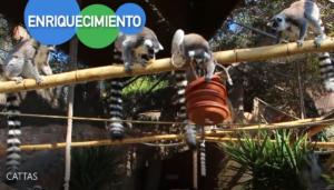 lemures con piezas de enrequecimiento ambiental