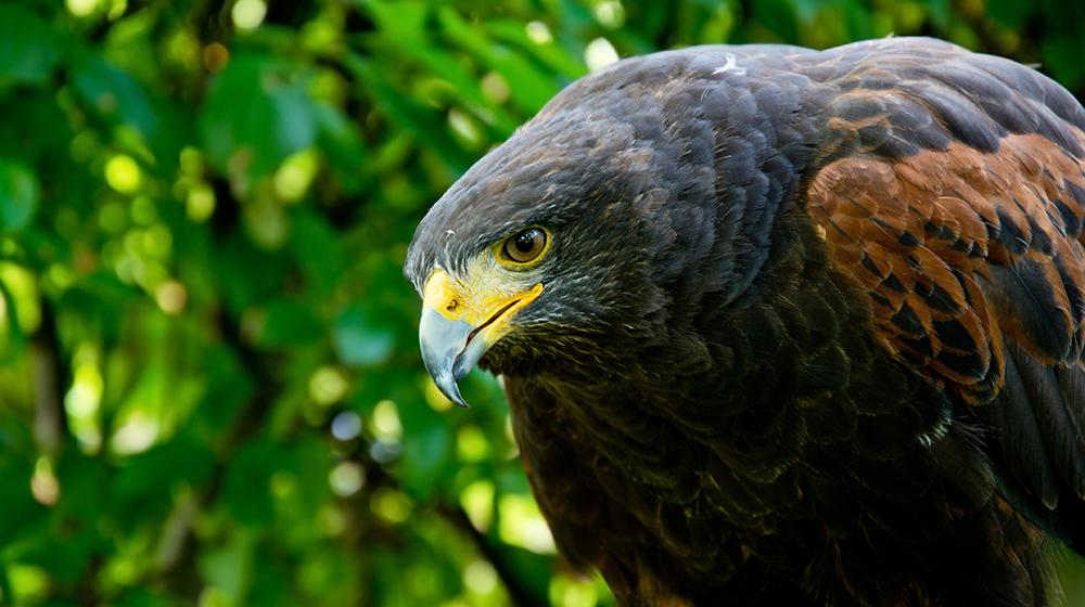 Águila Harris, también conocida como Halcón de Harris